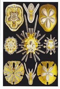 1 card Echinidea (Sand Dollars ) NX4 EXOTIC MAGNIFICENT NATURAL  HibiscusExpress
