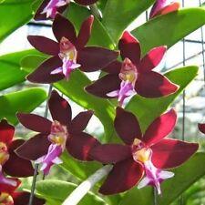Small size Trichoglottis Brachiata Sp. Flower size Rare plant 12-16 cm Long