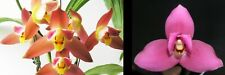 """orchid / orchidee Ang. Red Jewel """"Red Baby x (L Fire Bird x Geyser Gold) l11"""