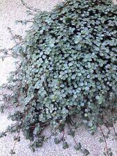 Pylea glauca glaucophylla terrario Silver hängepflanze ufopflanze moneytree 10x