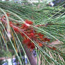 CASUARINA torulosa Forest Sheoak Seeds (N 239)