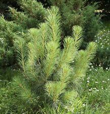i! Tränen Kiefer !i Nadelbaum dekorative lange weichen Nadel immergrün Samen.