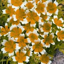 Pack Kings Seed 'Limnanthes Douglasii' Garden Flower Seeds
