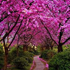 Judas tree / Cercis siliquastrum - 100+ Fresh Seeds Home Garden Plant