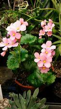 Begonia socotrana Socotra Yemen Ultra rare only source collector's item 1 bulbil