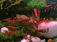10x Cherry Shrimp Adults Neocaridina Tropical Algae Eaters Clean Up Crew.