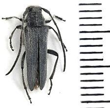 Cerambycidae Phytoecia (Opsilia) aspericollis S Kazakhstan RARE