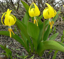 Erythronium Grandiflorum - 20 Seeds - Yellow Avalanche Lily