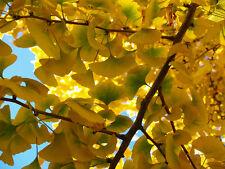 GINKGO BILOBA - LIVING FOSSIL / WORLD OLDEST LIVING PLANT, 5 SEMI SEEDS SAMEN