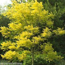 Gleditsia triacanthos Sunburst / Honey Locust beautiful tree grown peat free 4ft
