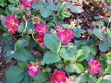 Ziererdbeere Fragaria vesca Rügen Bodendecker Sommerblüher