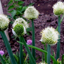 WINTERHECKZWIEBEL Alium fistulosum,Zwiebel,Winter grün, Lauch,Zimmer,Topf, Kübel
