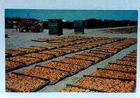 San Joaquin Valley California Fruit Drying Yard Postcard