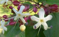 Clerodendrum trichotomum   Harlequin Glory Bower   Chance Tree   10_Seeds