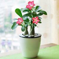 50 x Wüstenrose Samen Hausgarten Dekor Rose Samen Hausgarten-Deko W4Z9