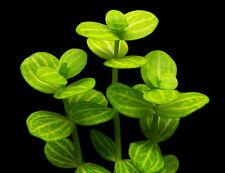Lindernia rotundifolia 'Variegated' - Live Aquarium/Fish Tank Plant