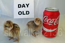 20+ Bielefelder Fertile Hatching Eggs.  Flock is from 2011 & 13 import bloodline