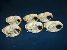 6 Muskrat skull real animal head taxidermy skeleton bone man cave crafting rat