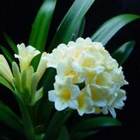 10 Stück Garten Balkon Schöne Bonsai Pflanzen Bush Lily Clivia Samen GRHA 01