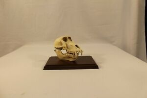 """Real Baboon Skull Taxidermy -Roughly 7"""" in length Unique skull - Great condition"""