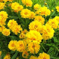 PERENNIAL FLOWER COREOPSIS EARLY SUNRISE 60 SEEDS