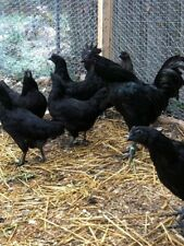 12+ Ayam Cemani Fertile Hatching Eggs (Npip Certified Flock)