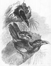 BIRDS. Gould's Toucanet(Selenidera Gouldi), antique print, 1855