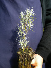 HELICHRYSUM ITALICUM alveolo Elicriso Curry plant  pianta aromatica