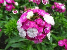 Sweet William Seeds - DASH MAGICIAN - Dianthus Barbatus - Reseeds -  25 Seeds