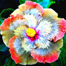50pcs Rare Giant Hibiscus Seeds Mix Flower Garden Home Perennial Potted Plants