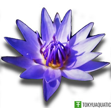 Nymphaea Colorata Blue Tropical Water Lily Tuber Live Pond Plant Flower Garden
