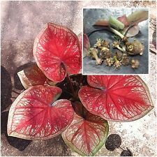 Caladium 1 Tuber, Queen of the Leafy Plants, ''Sumpaokaw'' Tropical From Thail