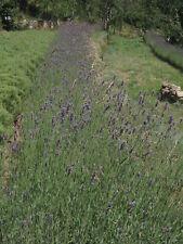 Huile essentielle bio de Lavande Angustifolia, Ardèche