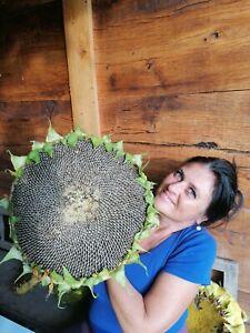 "SUNFLOWER  ""Mongolian Giant""  25 Seeds"