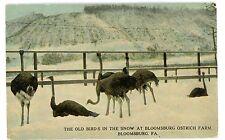 Bloomsburg PA-OSTRICH FARM IN WINTER- Postcard Bird
