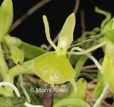 Epidendrum mathewsii alba CREEPING MINIATURE, SHINY GREEN FLOWERS orchid species