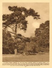 In Hadley Woods, the Royal hunting forest of Enfield Chase 1926 old print