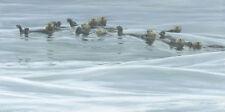 "Raft of Otters  - By Robert Bateman LTD Canvas  size 20"" x 40"""