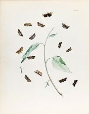 Original Antique Entomology Lithograph – Butterfly Plate (c. 1890)