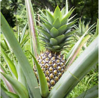 Pineapple Live Plant 'White Jade' Ananas comosus Edible fruit