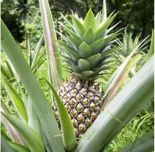 Pineapple Live Fruiting Plant 'White Jade' Ananas comosus Edible fruit