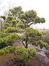 Pinus contorta - Küstenkiefer Drehkiefer - 125-150 cm