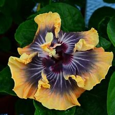 100 pcs  Moorea Silver Sun Hibiscus Flower Seeds Beautiful flower