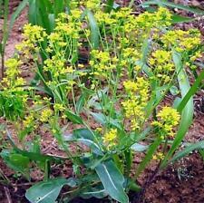 100pcs Indigowoad Root Isatis tinctoria Chinese herb seeds