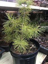 Japanese 5 Needle White Pine Pre Bonsai Tree