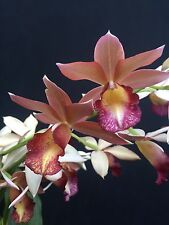 """Gastrophaius Micro Burst 'Wild Thing' Unusual Nun's Orchid, Shipped in 3"""" Pot"""