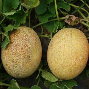 Melon Сaramel F1 seeds Сlause
