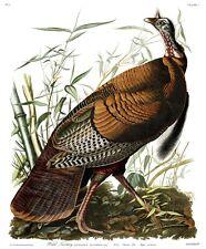 "Audubon's Birds of America #1 : ""Wild Turkey""  — Giclee Fine Art Print"