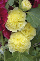 30+ HOLLYHOCK YELLOW CHATERS DOUBLE,  ALCEA ROSEA / 6 FT PERENNIAL FLOWER SEEDS