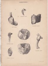 1860 Cirripedes - Barnacles - Set of 2 Lithographs - William Mackenzie/ J.Lowry